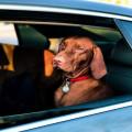 Hond Meenemen In De Auto